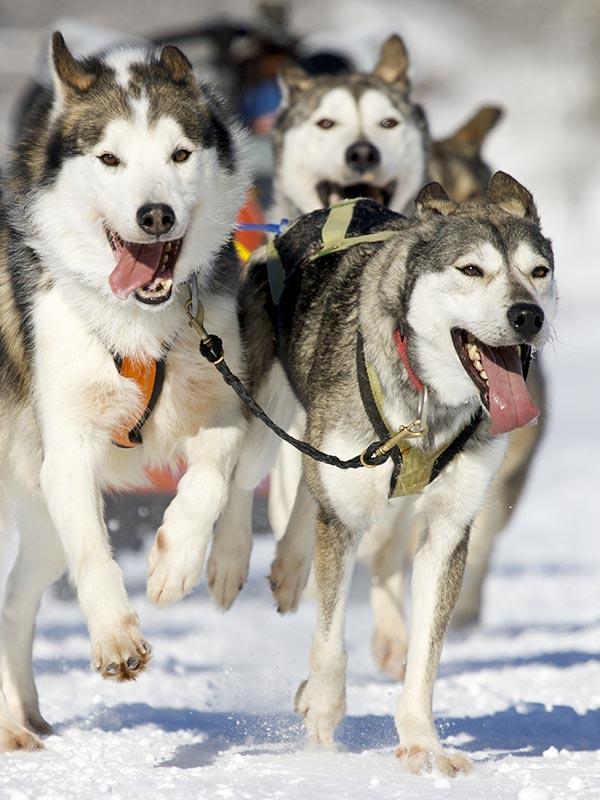 Activités hivernales traîneau à chien à l'Auberge du Vieux Moulin, vacances Lanaudière